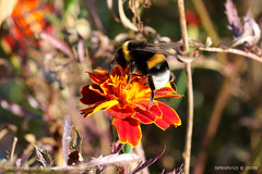 Bumblebee at work 3 (srkirad) Tags: animal insect bumblebee macro closeup bokeh blur depthoffield dof flower autumn sunny outside nature outdoors