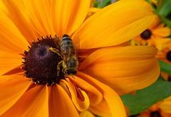 Fleissige Biene (jopol1955) Tags: biene abeille bee insekt insecte insect macro makro sonnenblume sunflower tournesol blume fleur flower