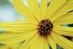 Fall flower (Arlo Bates) Tags: fujifilmx100f fujifilm fujilove winnipeg overcast westend flower yellow