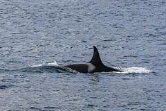Seward 117563 (Ellisroger) Tags: alaska killerwhales sewardalaska orcas killerwhale seward orca