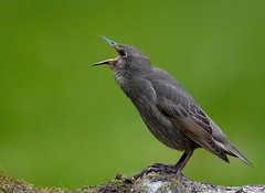 Starling (juv) (davy ren2) Tags: photograthy nature starling d500