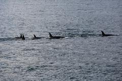 Seward 117532 (Ellisroger) Tags: alaska killerwhales sewardalaska orcas killerwhale seward orca
