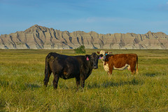 On Their Territory (risingthermals) Tags: united states america usa north sd south dakota rural outdoor nature natural setting environment plains high fields grass prairie sky open landscape wide cows cattle grazing pasture free range roaming looking tags numbers ranch grassy
