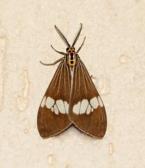Elegant Nyctemera baulus (WinRuWorld) Tags: nyctemerabaulus moth insect invertebrate arthropod lepidoptera fauna arctiinae erebidae noctuoidea macrophotography canon canonphotography outside australia nsw newsouthwales nature winter