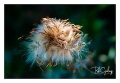 Soft on the outside... (Bob Geilings) Tags: dandelion soft nature macro closeup flora summer plant vegetation background bokeh