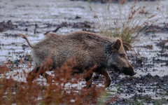 Bache Schwarzwild (cfowallburg) Tags: prerow wildschwein darss hirschbrunft2019 susscrofa