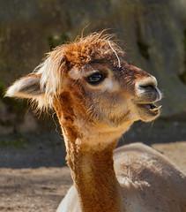 Alpaka .... (Konrads Bilderwerkstatt) Tags: tier kamel alpaka kopf porträt haar fell auge guido konrad wüste stein fels peru sand hals foto bild natur sony ilce6400