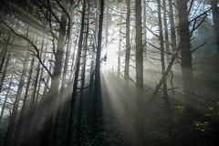 Rays of light (jeff's pixels) Tags: trees oregon nikon d850 forest sun rays nature landscape nikkor outside hike hiking sky green light bird bus train plane car pnw pacificnorthwest coast