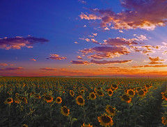 Sunflower field in a late summer sunset (oceanzam) Tags: sun sunset sunflowers flower garden field nature sky clouds dusk outdoors outside summer color colorful colorado colour yellow orange blue mountains landscape panorama serene beauty light shadow bright art country evening tranquil life earth