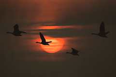 Sunrise (hardy-gjK) Tags: gänse geese flug fly sun sonne sonnenaufgang sunrise vögel birds oiseaux oies lever du soleil tiere animals natur nature hardy nikon morning day nirgends