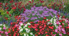 Foison de fleurs (balese13) Tags: 100nikon 1855mm bougeslechateau d5000 indre nikonpassion yourbestoftoday centre fleur flower jardin lightroom nikon nikonistes pixelistes balese couleur color 500v20f