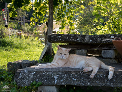 Dolce Far Niente ☼ (Xena*best friend*) Tags: bradpitt bp creamcat gingercat stonetable cats whiskers feline katzen gatto gato chats furry fur pussycat feral tiger pets kittens kitty animals piedmontitaly piemonte canoneos760d italy wood woods paws ©allrightsreserved purr digitalrebelt6s efs1855mmf3556is flickr outdoor animal pet photo nature catlover summer doingnothing dolcefarniente