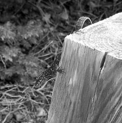 Almost Not There (Demmer S) Tags: creature animal reptile lizard woodpost close closeup macro squamate lacertilia reptiles lizards squamata animals nature outdoors creatures outside gulfcoast minimal minimalistic bw monochrome blackwhite blackandwhite blackwhitephotos blackwhitephoto