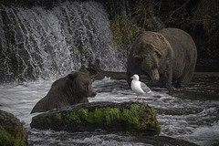 Two Bears and a Bird (Jack Heald) Tags: bears bird katmai nationalpark brownbear brooksfalls alaska heald jack nikon d750 travel