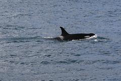 Seward 117569 (Ellisroger) Tags: alaska killerwhales sewardalaska orcas killerwhale seward orca