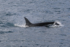 Seward 117560 (Ellisroger) Tags: alaska killerwhales sewardalaska orcas killerwhale seward orca