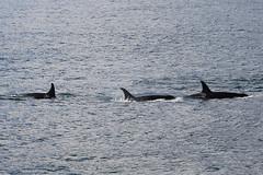 Seward 117546 (Ellisroger) Tags: alaska killerwhales sewardalaska orcas killerwhale seward orca