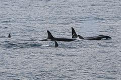 Seward 117465 (Ellisroger) Tags: alaska killerwhales sewardalaska orcas killerwhale seward orca