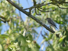 Pied Flycatcher (ukstormchaser (A.k.a The Bug Whisperer)) Tags: pied flycatcher flycatchers uk milton keynes tattenhoe tree trees perched morning august summer migration passage branch wings