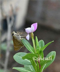 Now It's Time to fly! (Sheuli Hossain) Tags: butterfly nature bangladesh nayantharaflower flower
