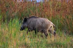 Schwarzwild  am Morgen auf dem Darss 1 (cfowallburg) Tags: prerow wildschwein darss hirschbrunft2019 susscrofa