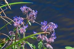 Flowers in the park 1. (tony allan tony allan) Tags: flowers borage plant nature naturalworld m42 manualfocus legacyglass lens pentaconprakticar70210mmlens nikond5300 flora