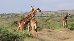 Giraffe, girafe (tor-falke) Tags: giraffe girafe africa afrika animal animals animaux landschaft landscape safari fotosafari photosafari torfalke flickrtorfalke flickr kenia amboseli nationalpark outdoor nice niceview schön beautiful wildlife ngc