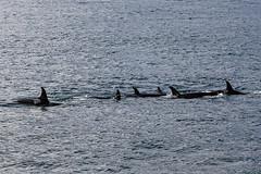 Seward 117551 (Ellisroger) Tags: alaska killerwhales sewardalaska orcas killerwhale seward orca