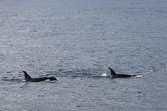 Seward 117507 (Ellisroger) Tags: alaska killerwhales sewardalaska orcas killerwhale seward orca