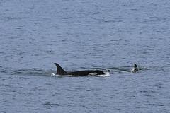 Seward 117485 (Ellisroger) Tags: alaska killerwhales sewardalaska orcas killerwhale seward orca