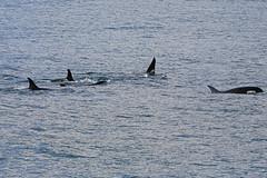 Seward 117471 (Ellisroger) Tags: alaska killerwhales sewardalaska orcas killerwhale seward orca