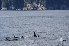 Seward 117470 (Ellisroger) Tags: alaska killerwhales sewardalaska orcas killerwhale seward orca
