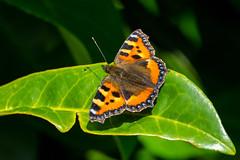 Basking........ (flicks pix1946) Tags: smalltortoiseshell aglaisurticae butterfly wildlife nature autumn leaf sunlight green yellow orange blue brown black white sony a9 200600mm riversidegardens belper derbyshire flickspix1946 klythawk