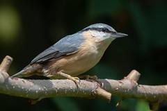 Nuthatch-176 (davidgardiner8) Tags: birds garden nuthatch eastsussex