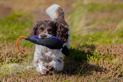 fetching (The Papa'razzi of dogs) Tags: zigzag spaniel cocker dog outdoor pet hund