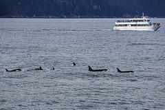 Seward 117434 (Ellisroger) Tags: alaska killerwhales sewardalaska orcas killerwhale seward orca