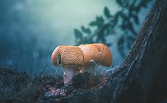 Mushrooms (Dhina A) Tags: sony a7rii ilce7rm2 a7r2 a7r kaleinar mc 100mm f28 kaleinar100mmf28 5n m42 nikonf russian ussr soviet 6blades manualfocus