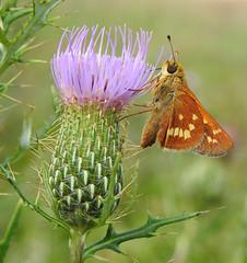 Leonard's Skipper on Bull Thistle (annette.allor) Tags: hesperialeonardus leonards skipper butterfly grass cirsiumvulgare