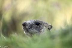 Out of the Green (Luca Bobbiesi) Tags: marmotta nature animals roditori bokeh trentinoaltoadige vezzena marmot portrait canoneos5dmarkiv canonef100400mmf4556lisusm canonextenderef14xii