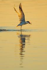 Tern Fishing at Sunset (ronniegoyette) Tags: 2019 morrobayestuary morrobaystatepark waterfowl tern sunset fishing