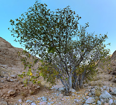 Mountain Fig Tree (MiScorpion) Tags: nikon d3200 1855mm panorama commonfig tree sky mountain mountainside plant rock stone soil green leaf branch trunk blue nature mothernature summer