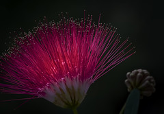 Backlit Red Surinam Flower in full bloom (YK Fotoworks) Tags: powderpuff bloom calliandra flower nature plant shrub surinamensis tree abstract among background beautiful blooming blossom botanical botany close closeup clusters color colorful detail dots extreme flora floral fragrant garden green