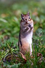 - Семечку будешь? (marussia1205) Tags: бурундук семечка улыбка милый зверек chipmunk sunflower seed smile cute animal