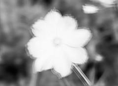 Multi-Expo: Garden Flower (LarsHolte) Tags: blackandwhite bw 120 film monochrome rollei analog mediumformat denmark 645 pentax ishootfilm 120film d76 analogue 6x45 danmark pentax645 filmphotography 25iso classicblackwhite 645n filmforever rolleirpx rolleirpx25 120mm f40 smcpentaxa flower closeup multiexposure homeprocessing multiexpo larsholte