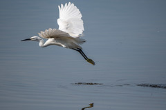 Little Egret (Gareth Keevil) Tags: autumn bird birdonastick detail feather garethkeevil inflight lancashire littleegret mudlark nikon nikon500mm nikond500 north rspb rspbleightonmoss reedbed telephoto uk wild