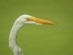 Grande aigrette (Louise St-Maurice) Tags: grandeaigrette nature oiseau louisestmaurice