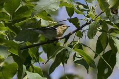 (The Transit Photographer) Tags: rideautrail trailhead marshlandsconservationarea fallmigration warblers blackpollwarbler femaleorjuvenile
