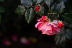Evening roses (Tashata) Tags: macro nature plant petals evening light leaves beautiful botanical bokeh blooming red roses flowers flora outdoor sonyilce7rm2 fe90mmf28macrogoss