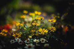 Spätsommergarten (MHG17) Tags: leica bokeh 7artisans50mm flowers m240