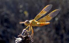 Mexican Amberwing (Perithemis intensa) (J.Thomas.Barnes) Tags: